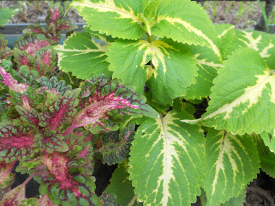 yellow and green coleus plants